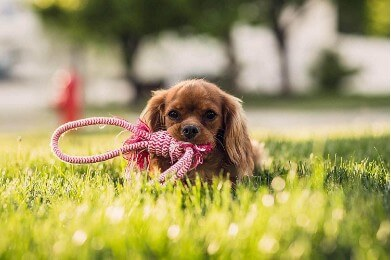 Dog with a rope in the grass