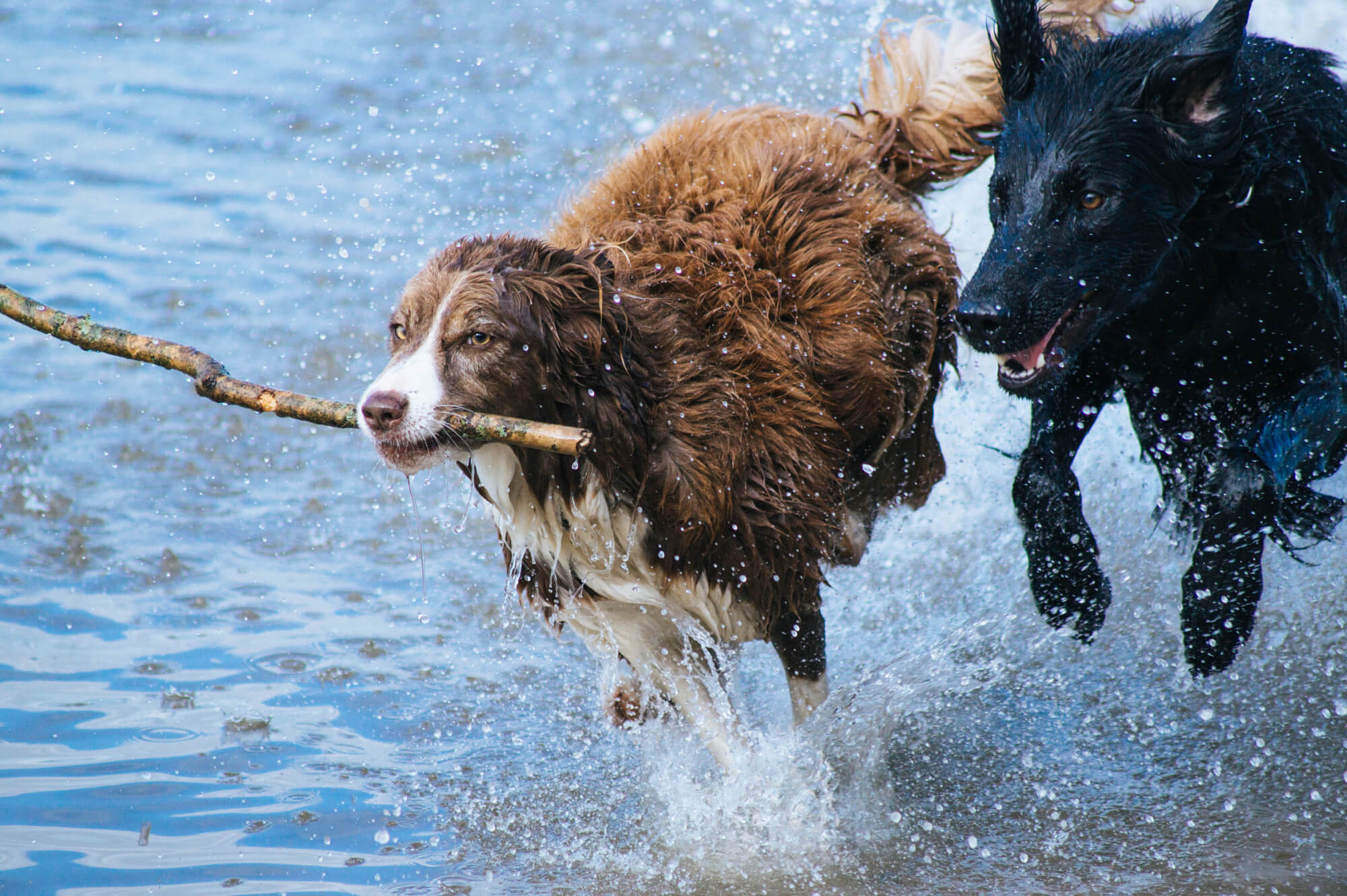 Dogs chasing each other with a stick
