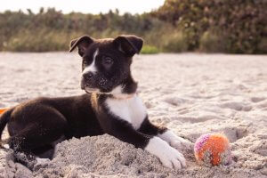Puppy with a ball on the beach