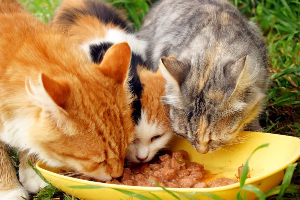 Three cats eating wet food