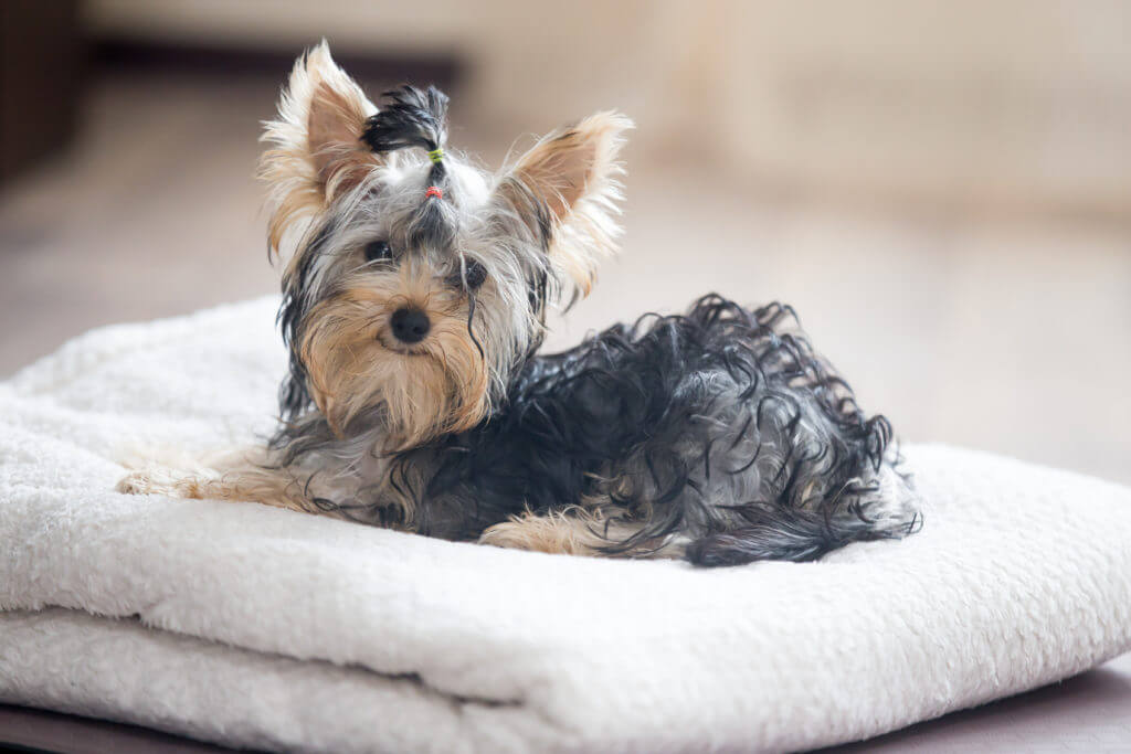 Cute adorable small dog wearing bow-tie lying on white towel in living room and looking at camera