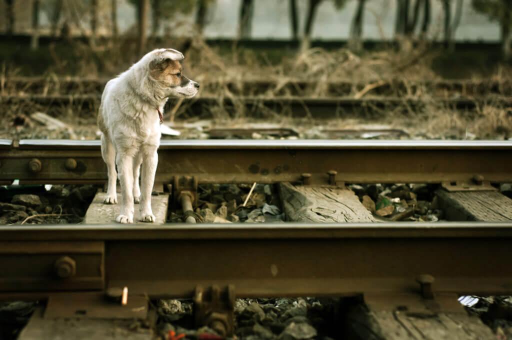 The vagrant dog along the railway line