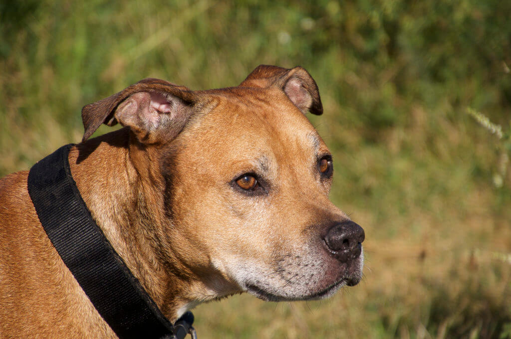 American Pit Bull Terrier portrait of red, close-up plan