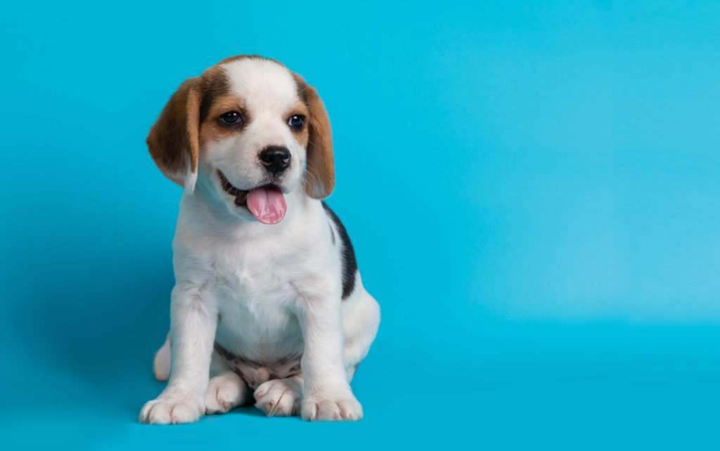 Beagles puppies looking something ,isolated on blue background.