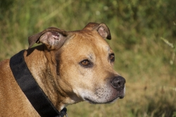 """Are Pit Bulls REALLY """"Bad"""" Dogs: How to Rehabilitate Pit bulls"""