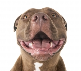 10 False Myths About Pitbulls